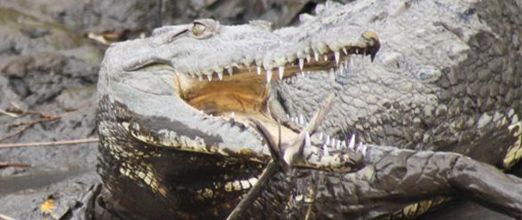 croc_featured