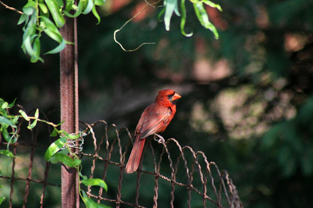 Cardinal in the backyard