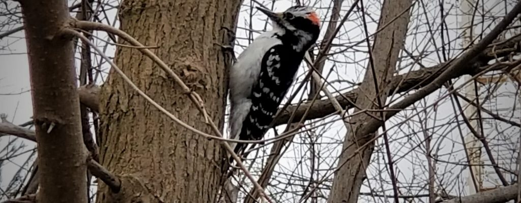 Woodpecker in Brookdale Park (April 2019)